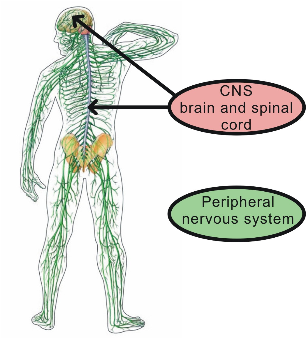 Nervous control of muscular contraction